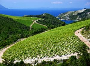 Komarna – the youngest and sweetest vineyard in Croatia