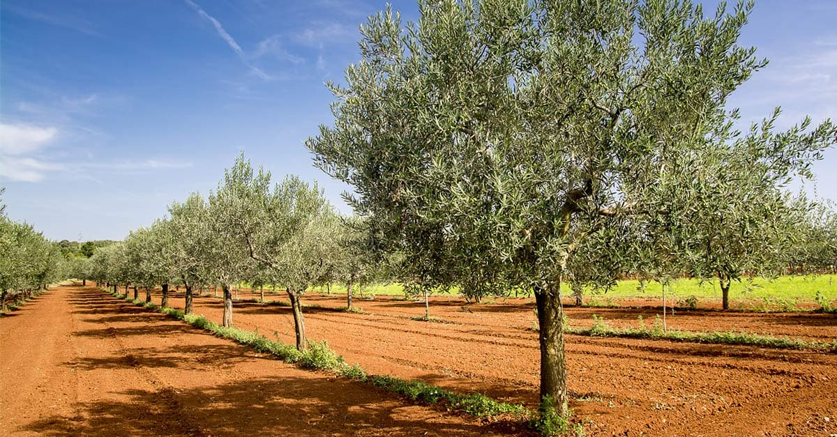 5 things you need to know about Croatian olive oil - The