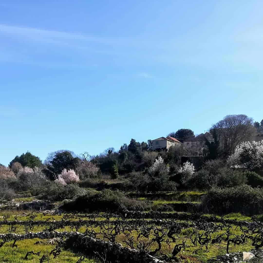 Island Hvar, Vineyards